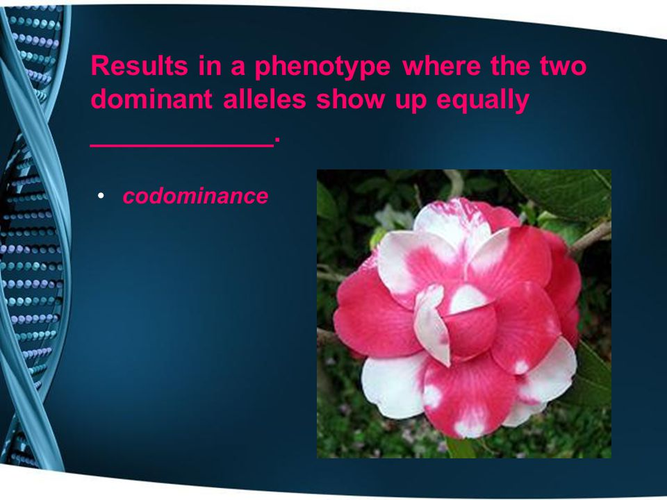 Results in a phenotype where the two dominant alleles show up equally ____________.