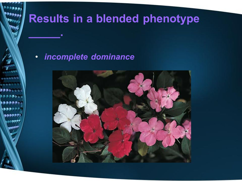 Results in a blended phenotype _____.