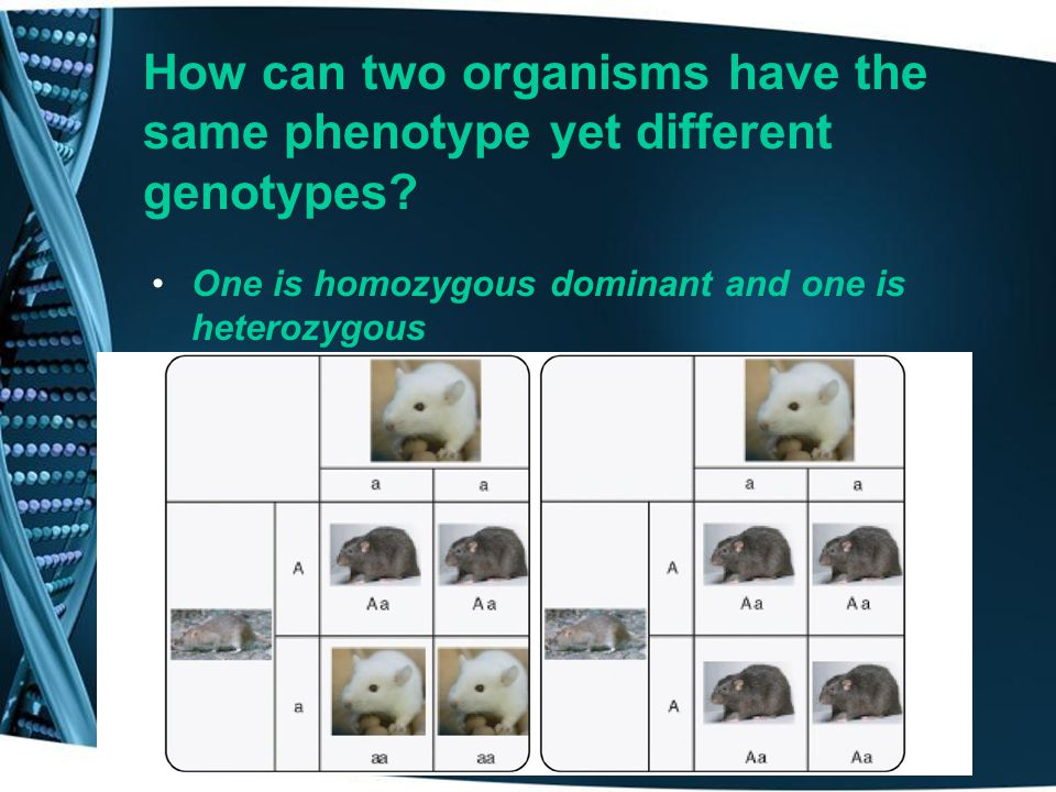 How can two organisms have the same phenotype yet different genotypes