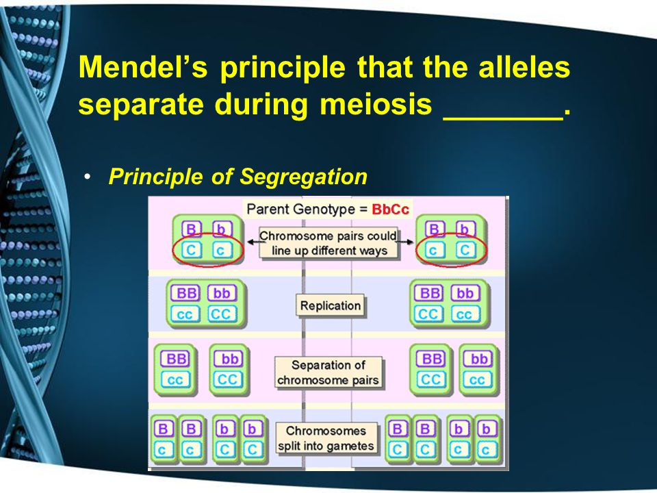 Mendel's principle that the alleles separate during meiosis _______.