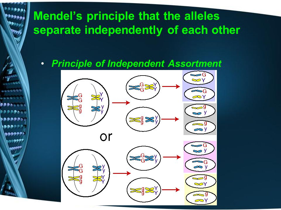 Mendel's principle that the alleles separate independently of each other