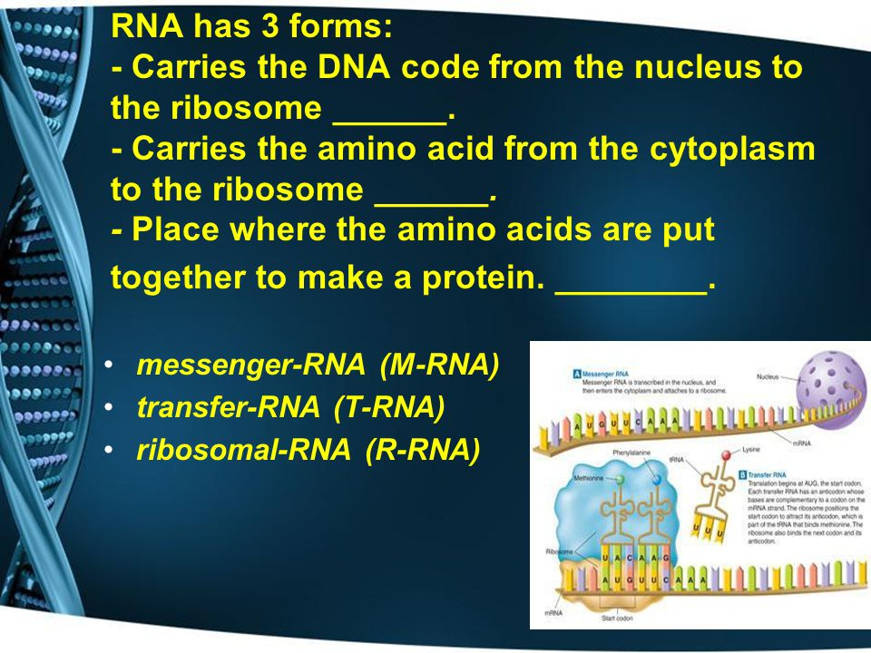 RNA has 3 forms: - Carries the DNA code from the nucleus to the ribosome ______. - Carries the amino acid from the cytoplasm to the ribosome ______. - Place where the amino acids are put together to make a protein. ________.