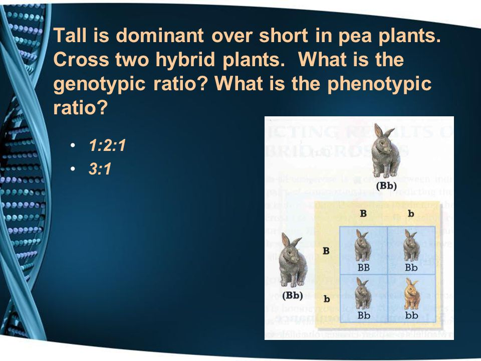 Tall is dominant over short in pea plants. Cross two hybrid plants