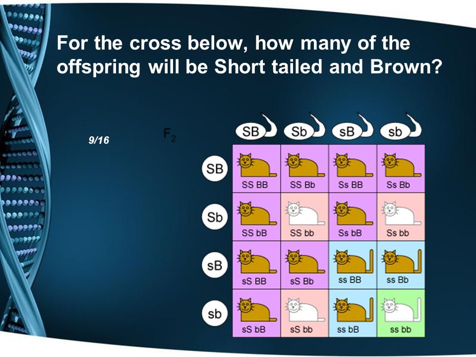 For the cross below, how many of the offspring will be Short tailed and Brown