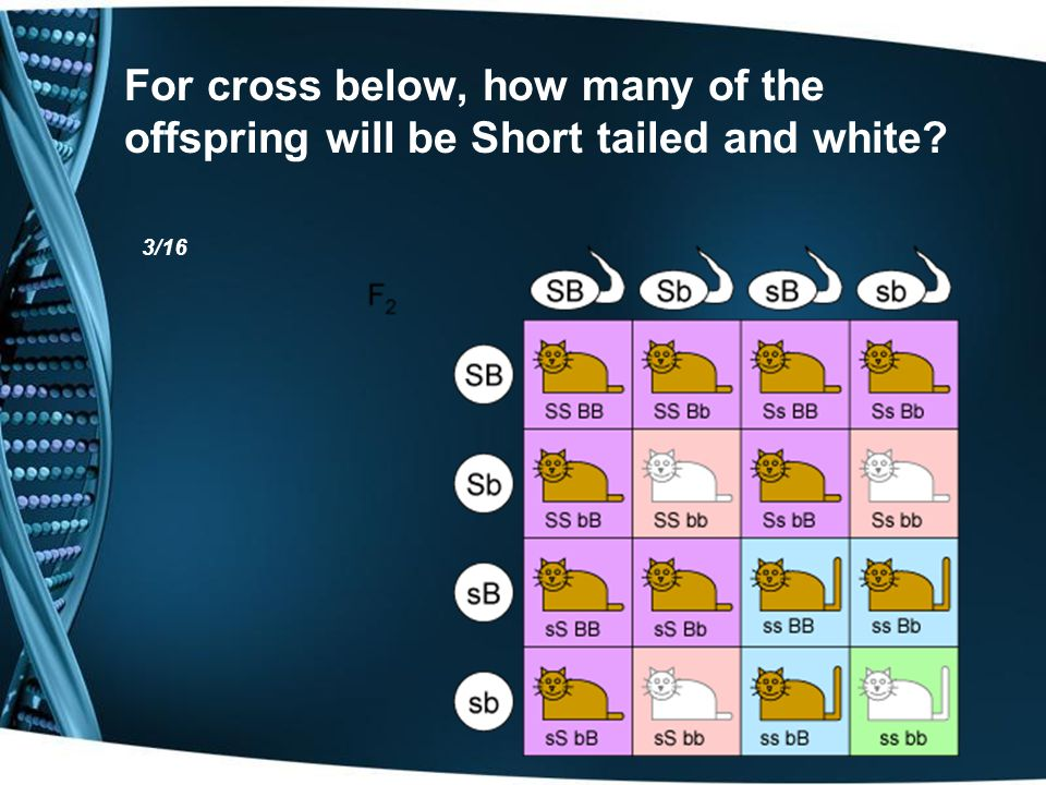 For cross below, how many of the offspring will be Short tailed and white