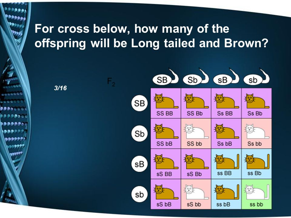 For cross below, how many of the offspring will be Long tailed and Brown