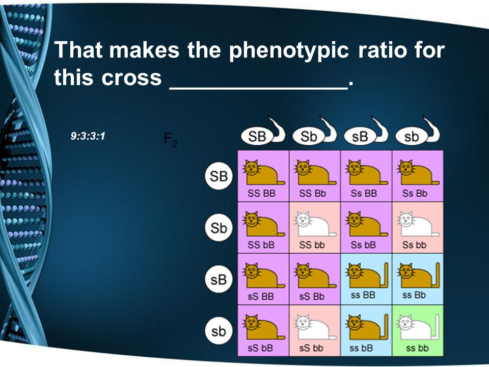 That makes the phenotypic ratio for this cross ______________.