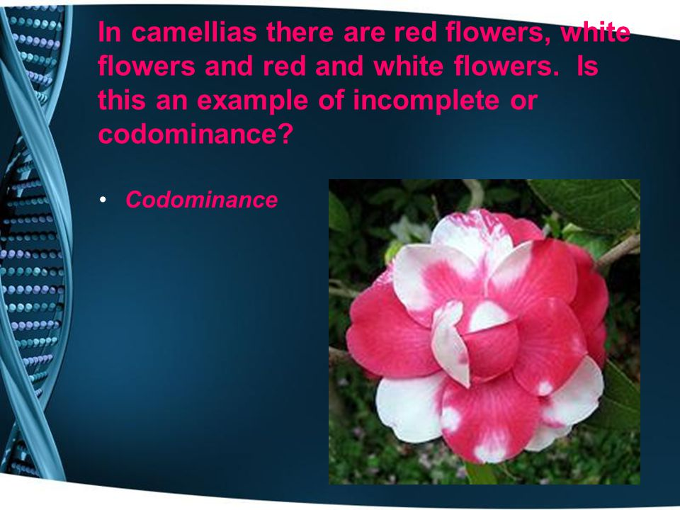In camellias there are red flowers, white flowers and red and white flowers. Is this an example of incomplete or codominance