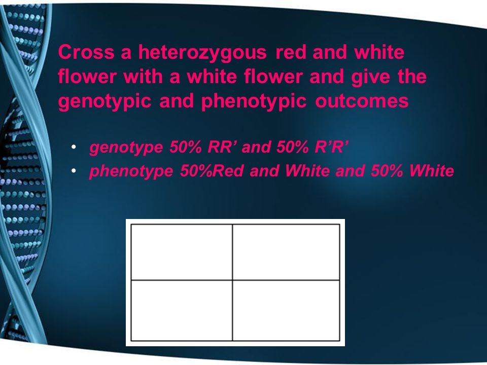 Cross a heterozygous red and white flower with a white flower and give the genotypic and phenotypic outcomes