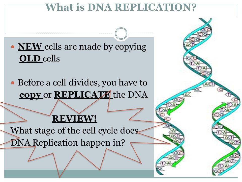 What is DNA REPLICATION