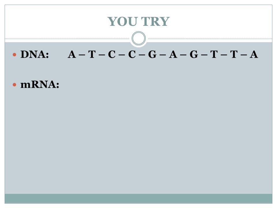 YOU TRY DNA: A – T – C – C – G – A – G – T – T – A mRNA: