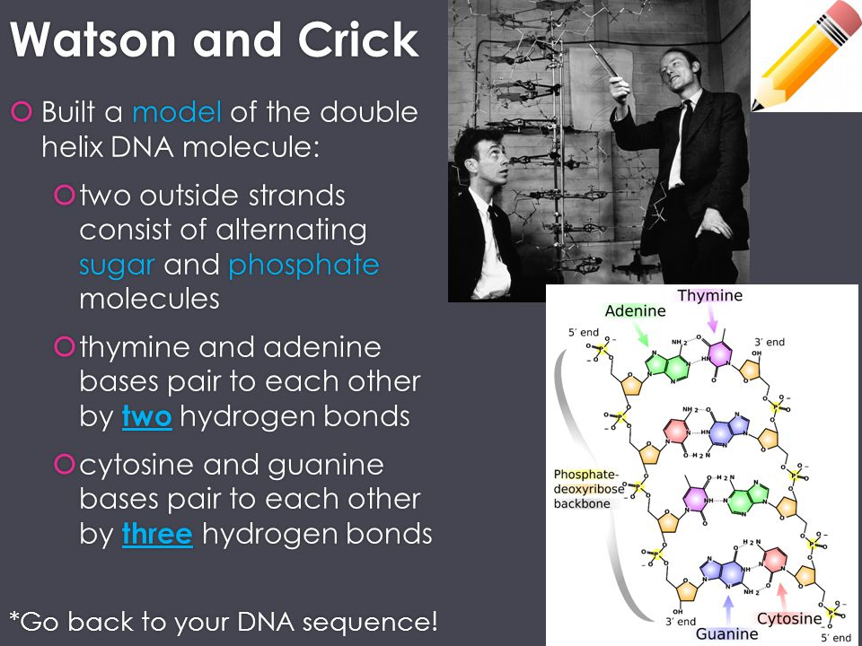 Watson and Crick Built a model of the double helix DNA molecule:
