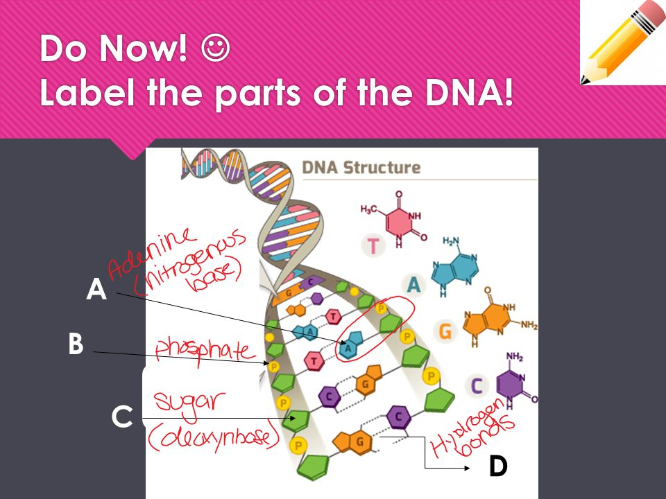 Do Now!  Label the parts of the DNA!