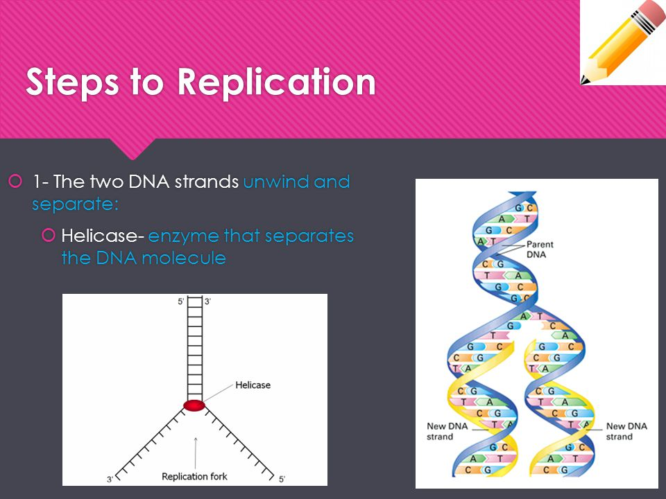 Steps to Replication 1- The two DNA strands unwind and separate: