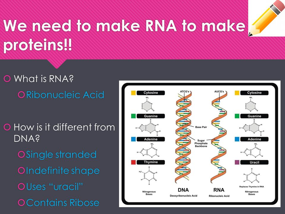We need to make RNA to make proteins!!