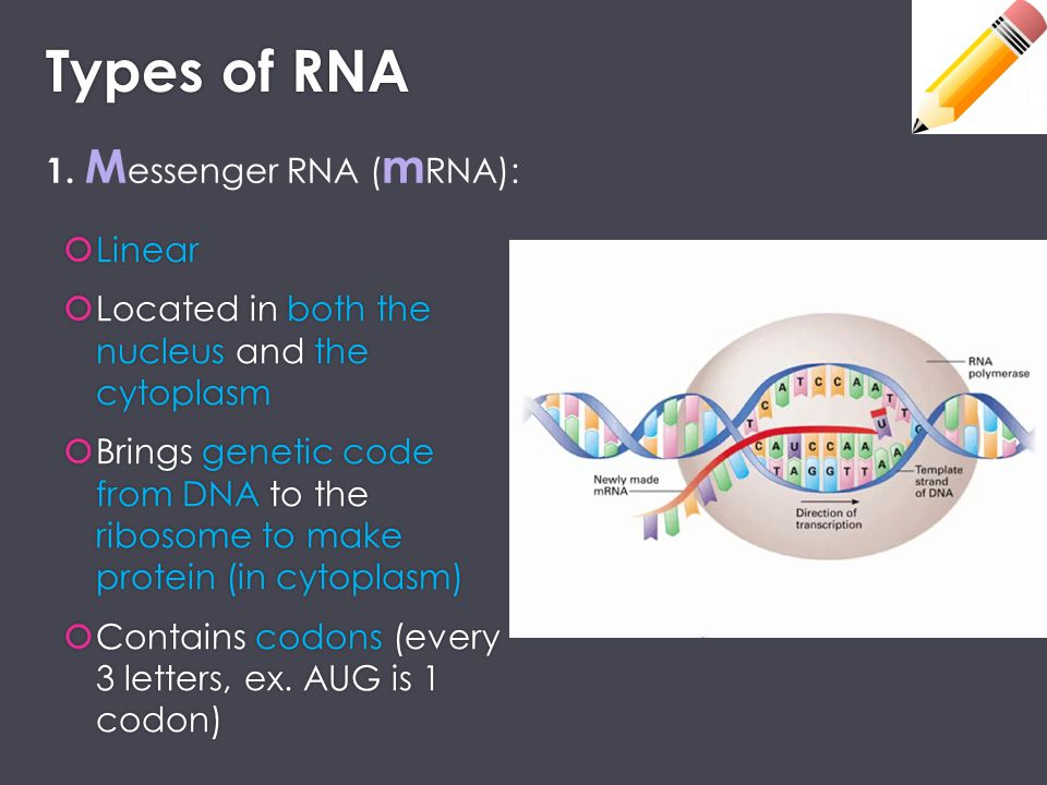 Types of RNA 1. Messenger RNA (mRNA): Linear