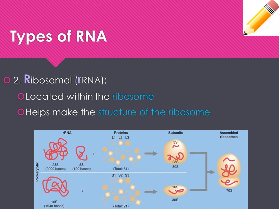 Types of RNA 2. Ribosomal (rRNA): Located within the ribosome
