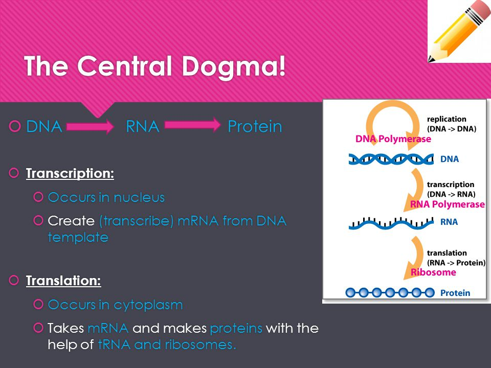 The Central Dogma! DNA RNA Protein Transcription: Occurs in nucleus