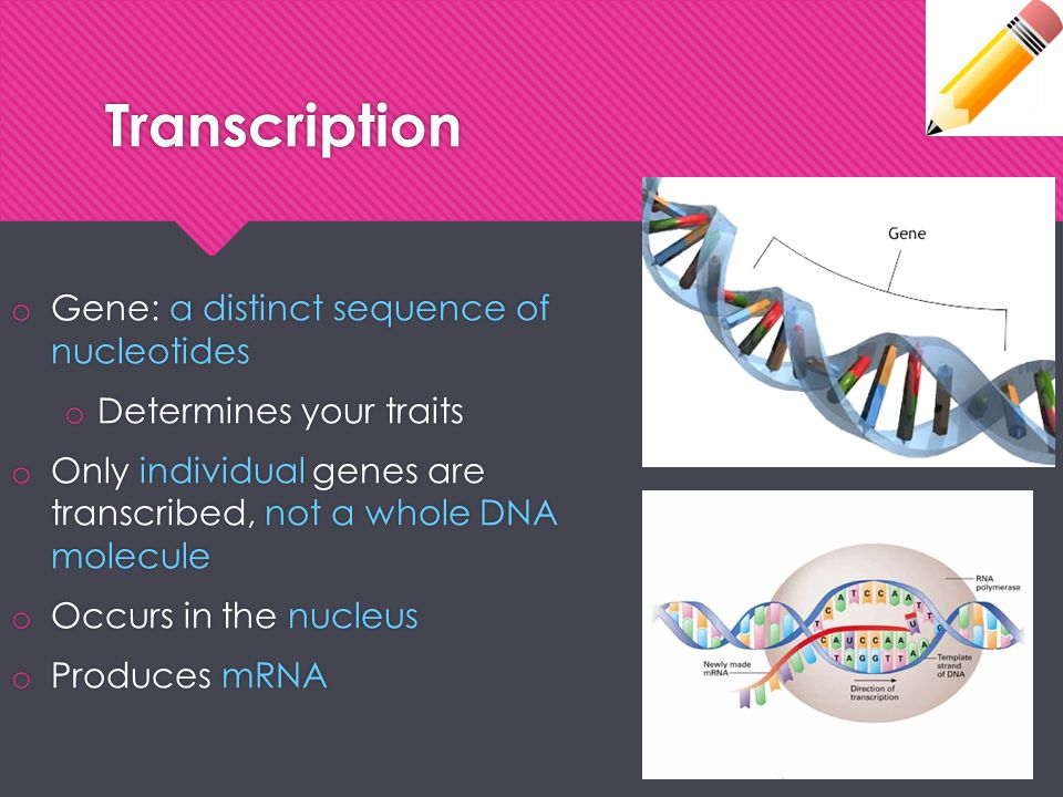 Transcription Gene: a distinct sequence of nucleotides