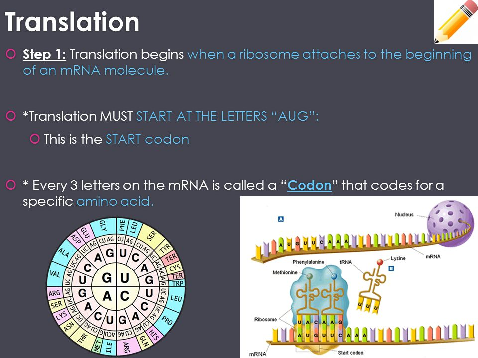 Translation Step 1: Translation begins when a ribosome attaches to the beginning of an mRNA molecule.