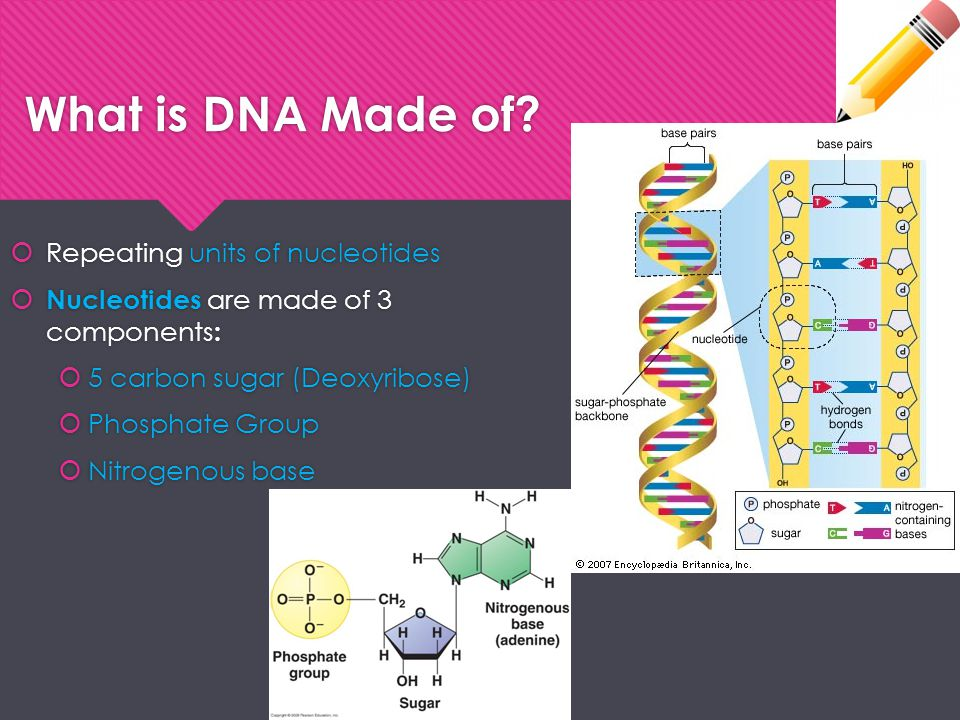 What is DNA Made of Repeating units of nucleotides
