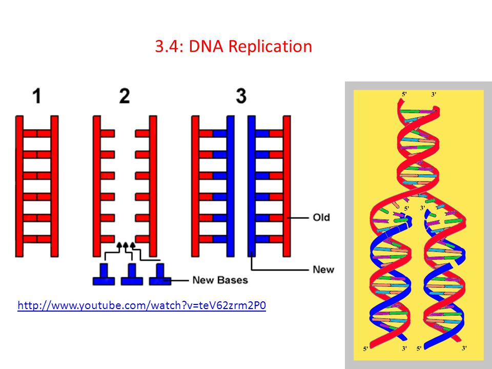 3.4: DNA Replication http://www.youtube.com/watch v=teV62zrm2P0