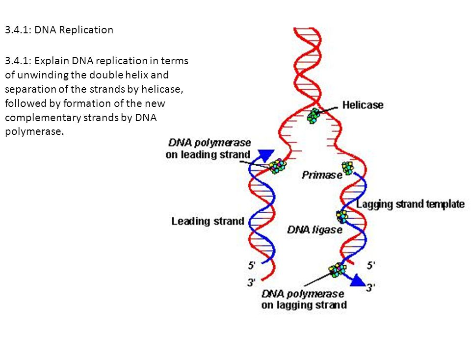 3.4.1: DNA Replication 3.4.1: Explain DNA replication in terms. of unwinding the double helix and.