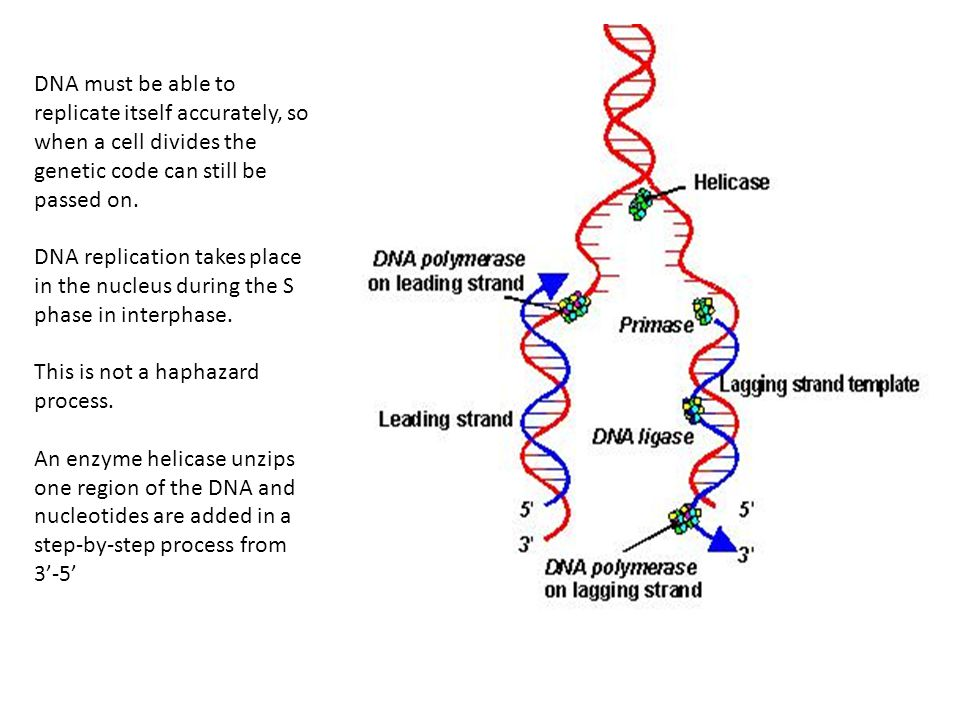 DNA must be able to replicate itself accurately, so when a cell divides the genetic code can still be passed on.