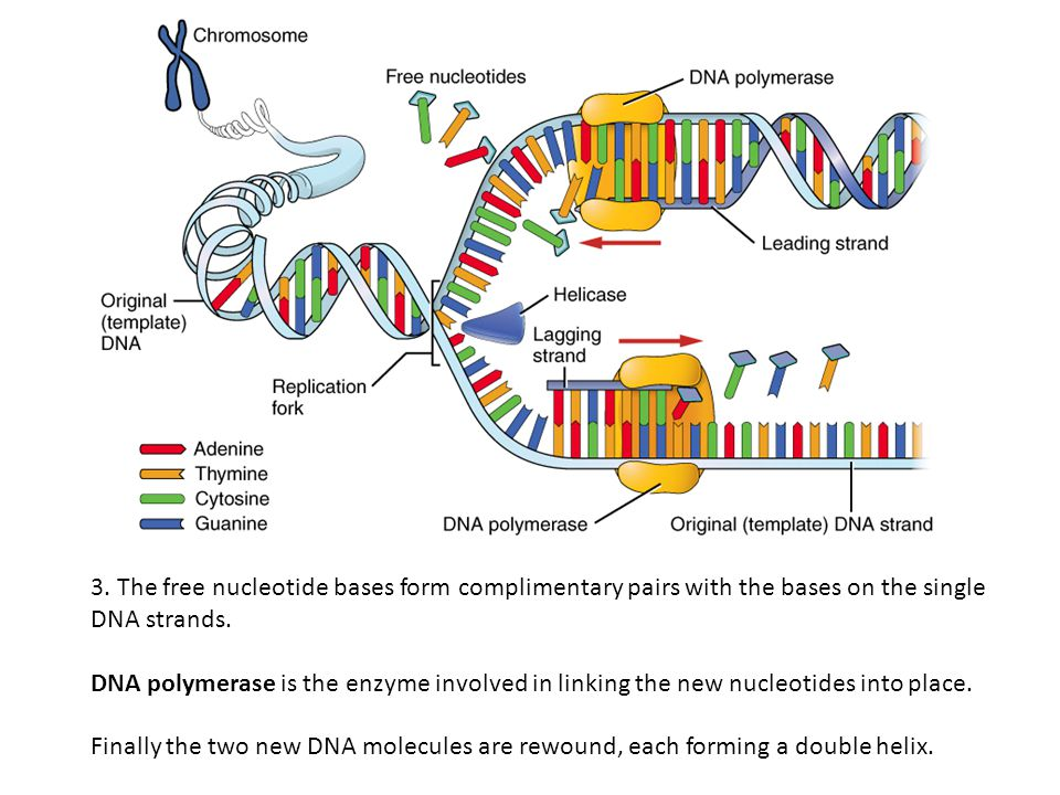 3. The free nucleotide bases form complimentary pairs with the bases on the single DNA strands.