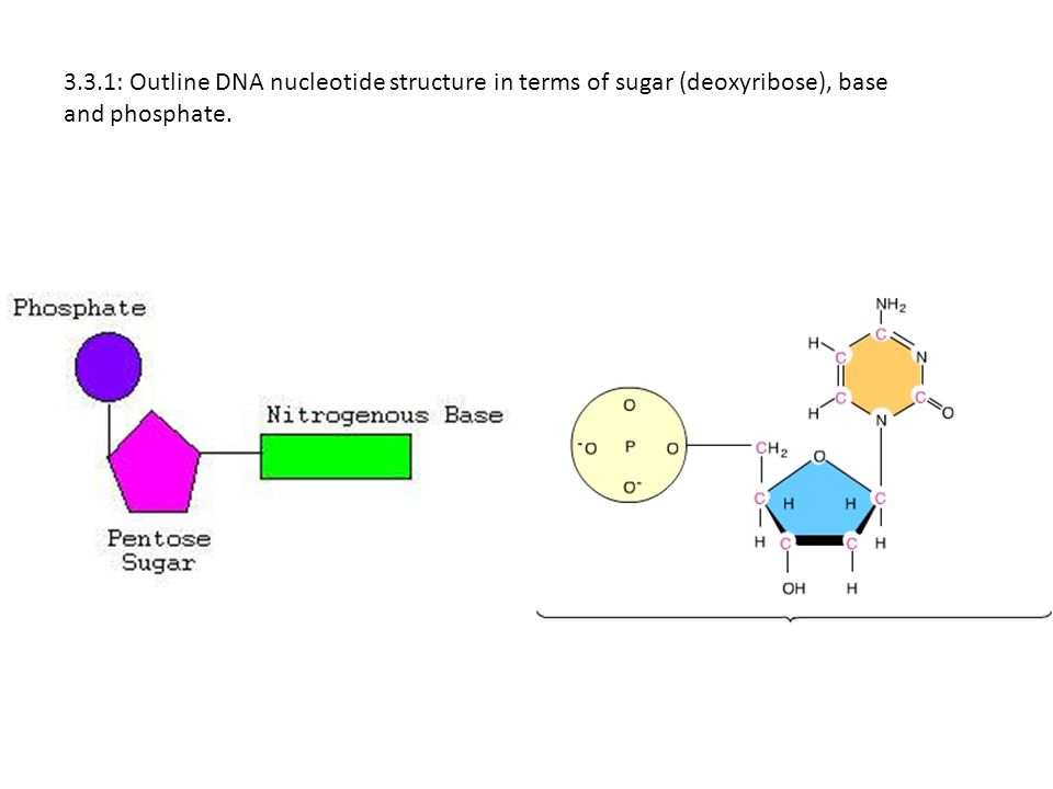 Dna Diagram Sugar Phosphate Choice Image - How To Guide ...