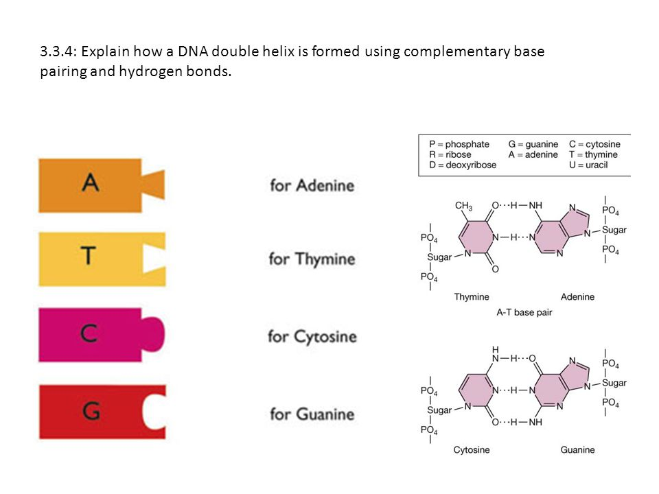 3.3.4: Explain how a DNA double helix is formed using complementary base pairing and hydrogen bonds.