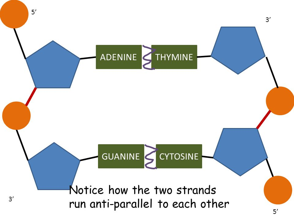Notice how the two strands run anti-parallel to each other