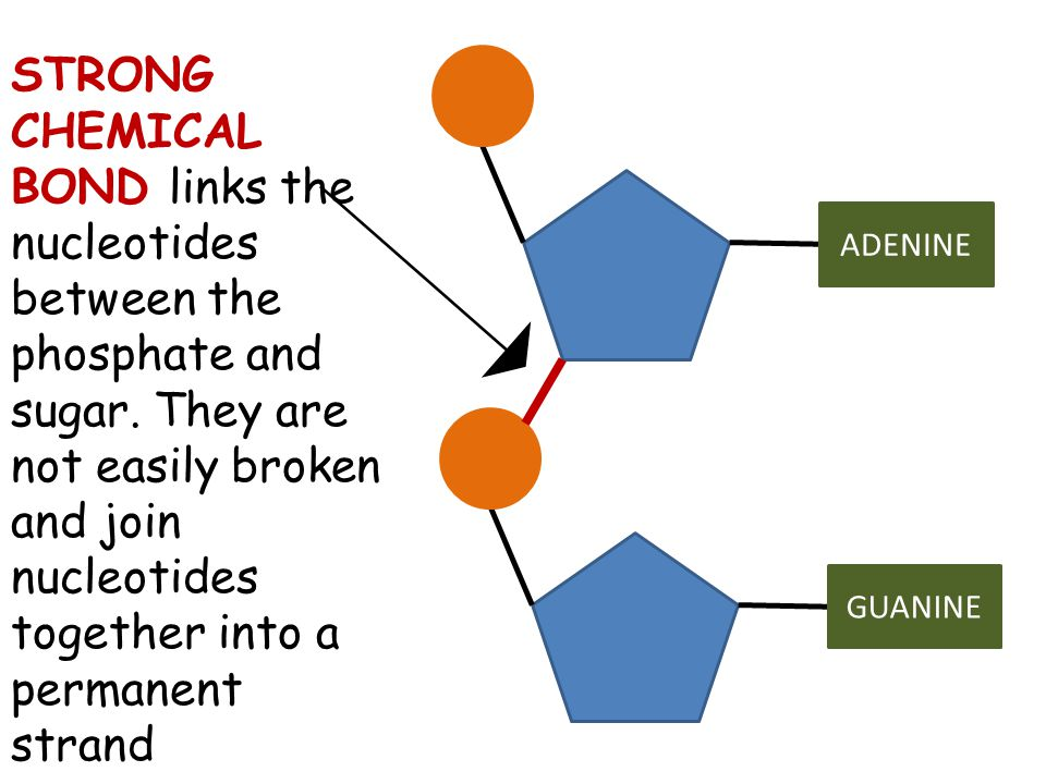 STRONG CHEMICAL BOND links the nucleotides between the phosphate and sugar. They are not easily broken and join nucleotides together into a permanent strand