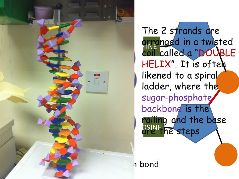 The 2 strands are arranged in a twisted coil called a DOUBLE HELIX