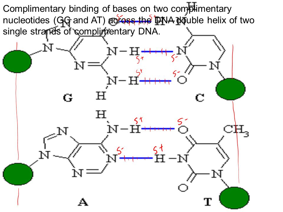 Complimentary binding of bases on two complimentary nucleotides (GC and AT) across the DNA double helix of two single strands of complimentary DNA.