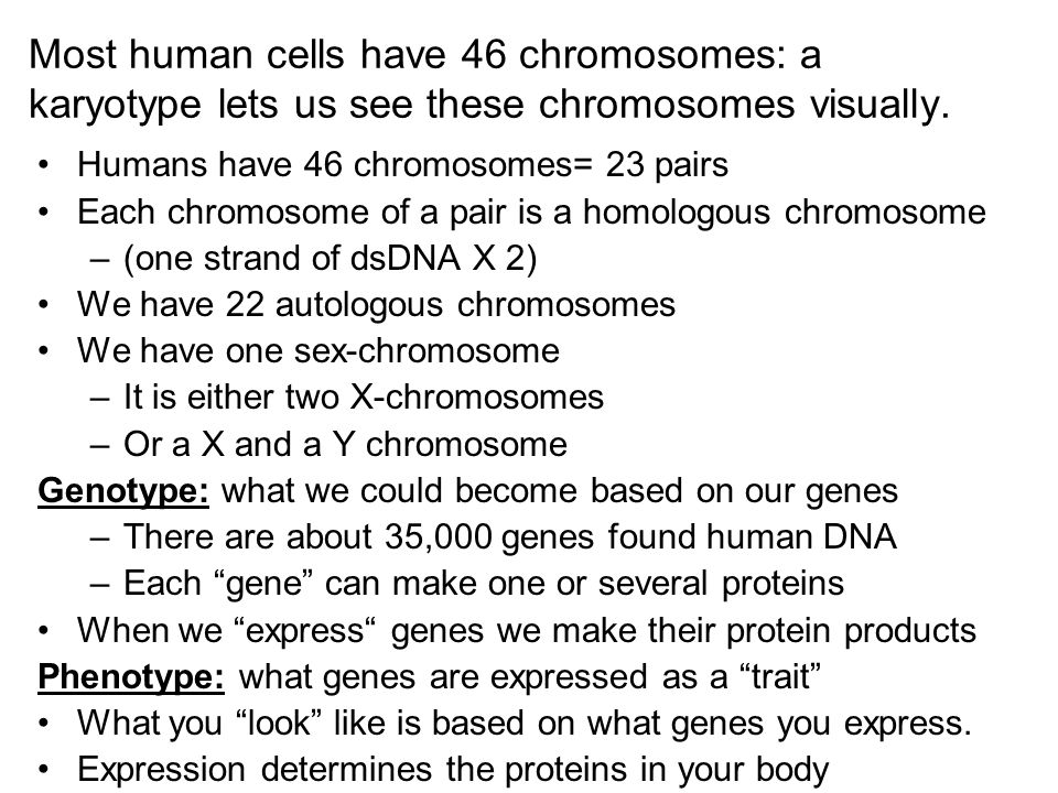 Most human cells have 46 chromosomes: a karyotype lets us see these chromosomes visually.