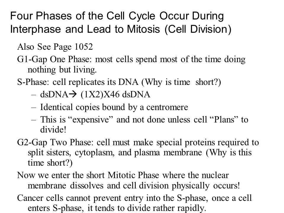 Four Phases of the Cell Cycle Occur During Interphase and Lead to Mitosis (Cell Division)
