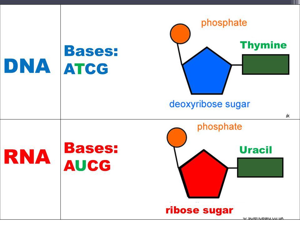 DNA Bases: ATCG RNA AUCG Thymine Uracil ribose sugar
