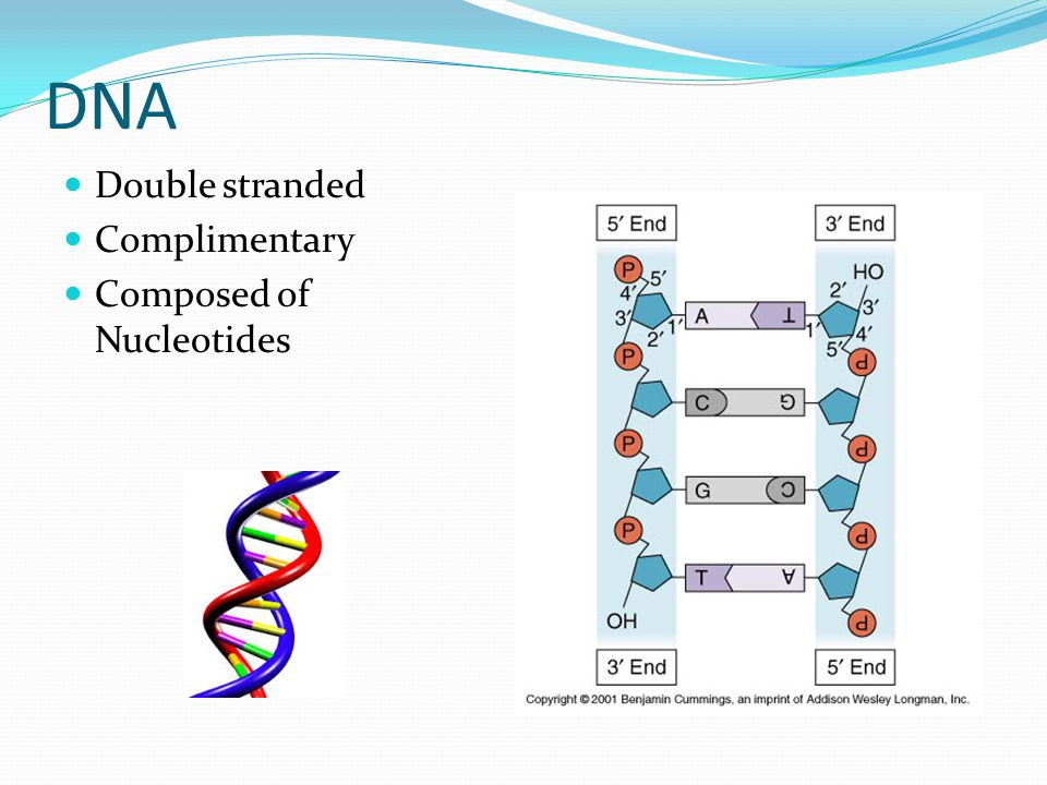 DNA Double stranded Complimentary Composed of Nucleotides