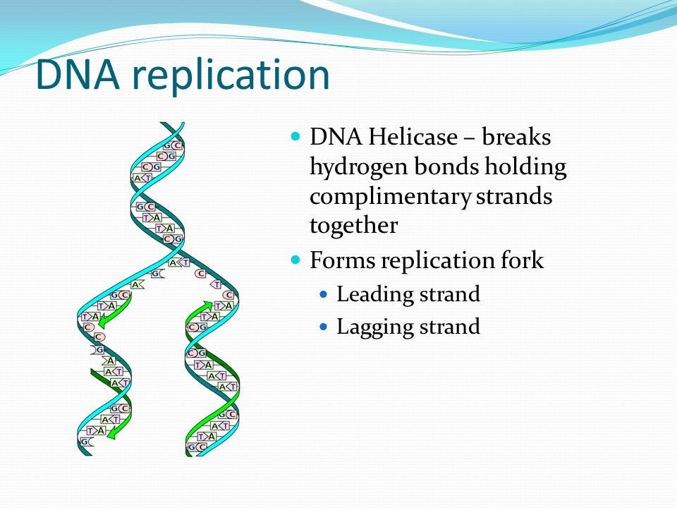 DNA replication DNA Helicase – breaks hydrogen bonds holding complimentary strands together. Forms replication fork.