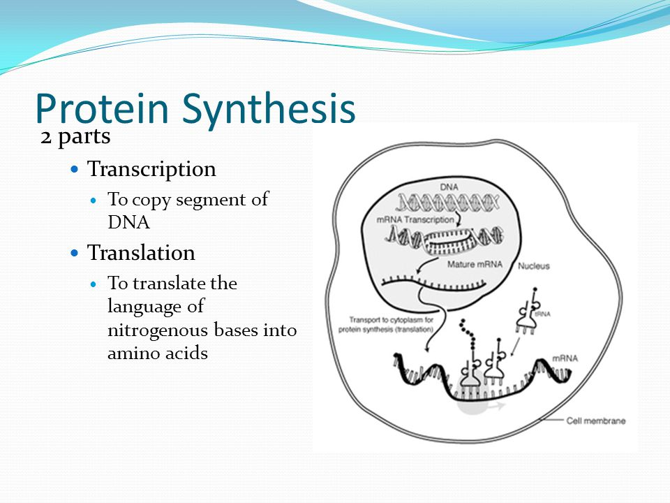 Protein Synthesis 2 parts Transcription Translation