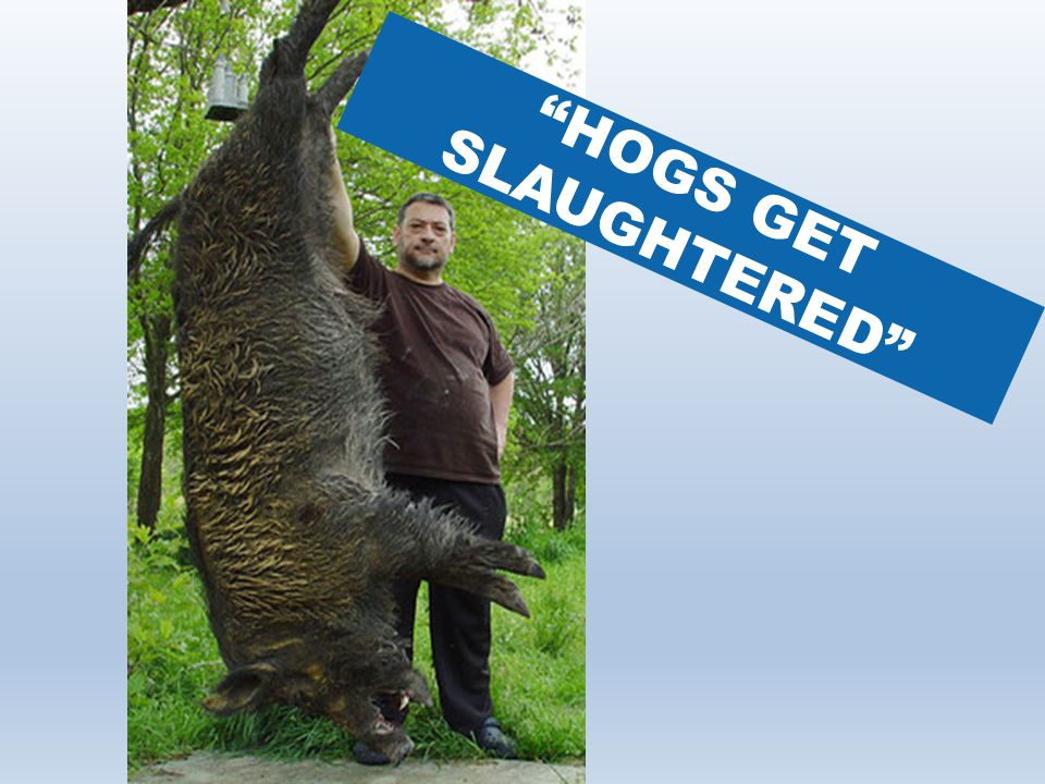 HOGS GET SLAUGHTERED