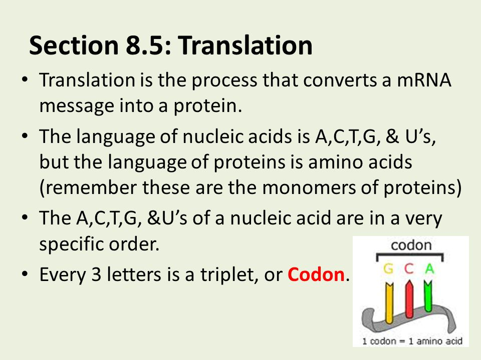 Section 8.5: Translation Translation is the process that converts a mRNA message into a protein.