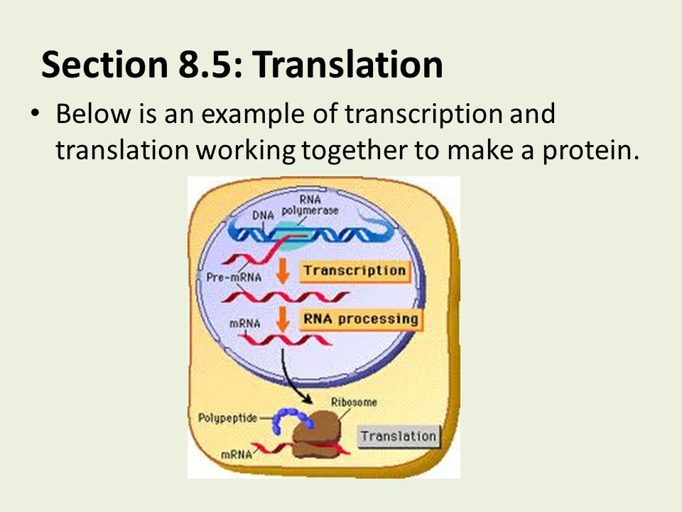 Section 8.5: Translation Below is an example of transcription and translation working together to make a protein.
