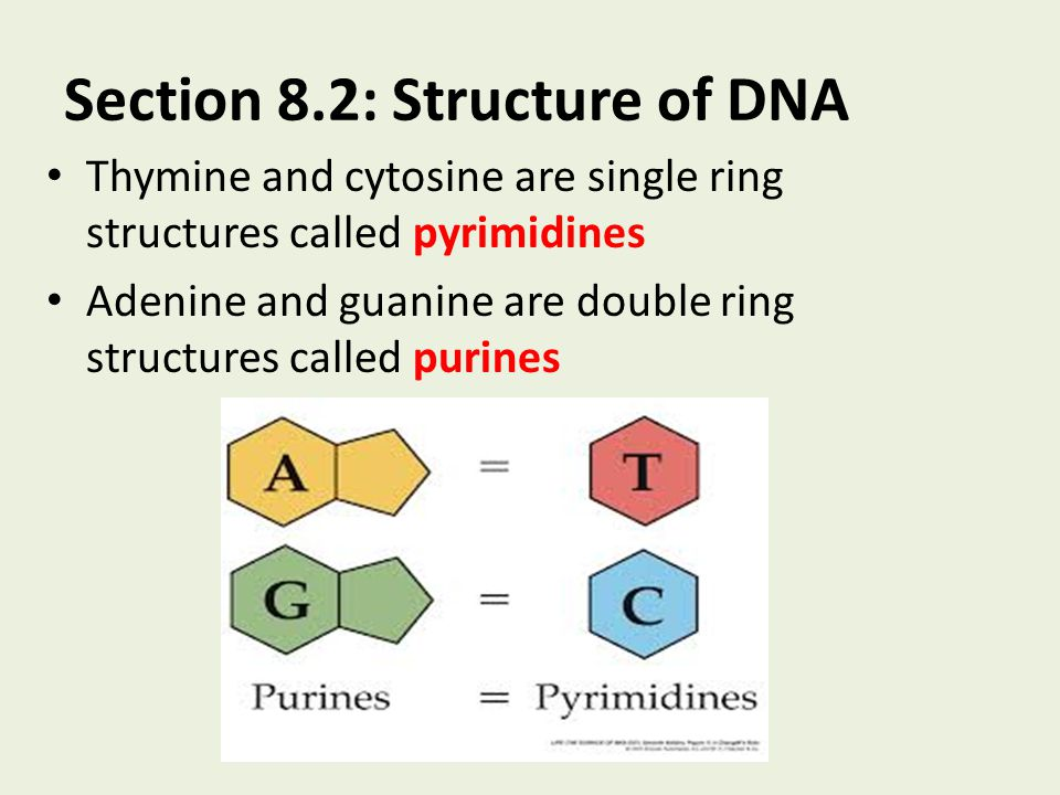 Section 8.2: Structure of DNA