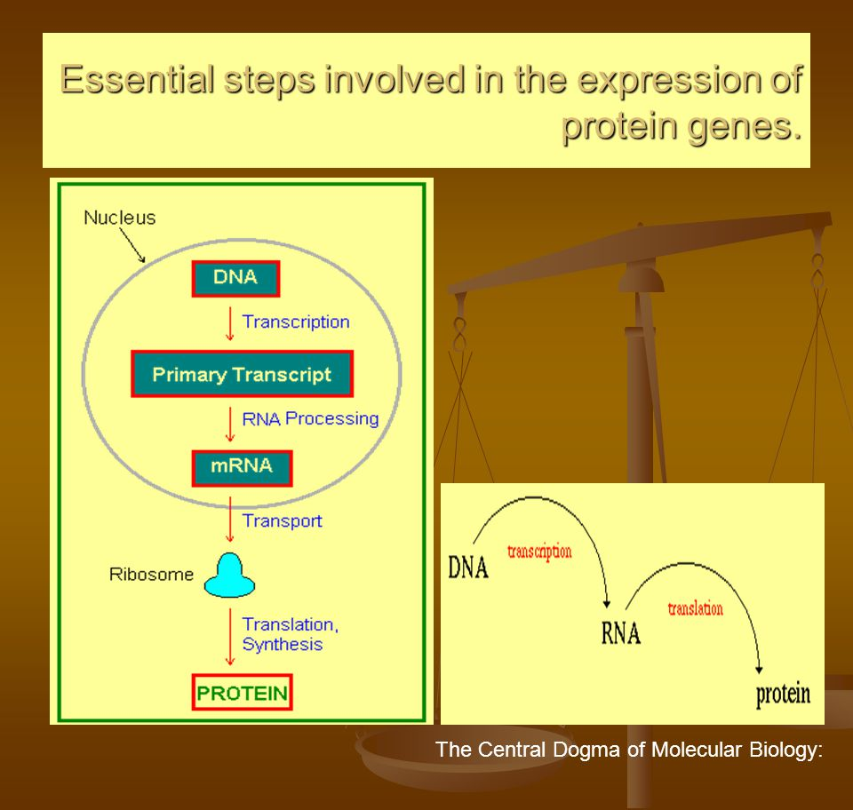 Essential steps involved in the expression of protein genes.