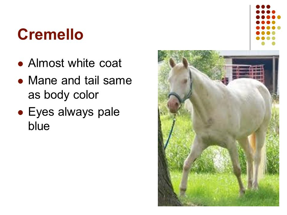 Cremello Almost white coat Mane and tail same as body color
