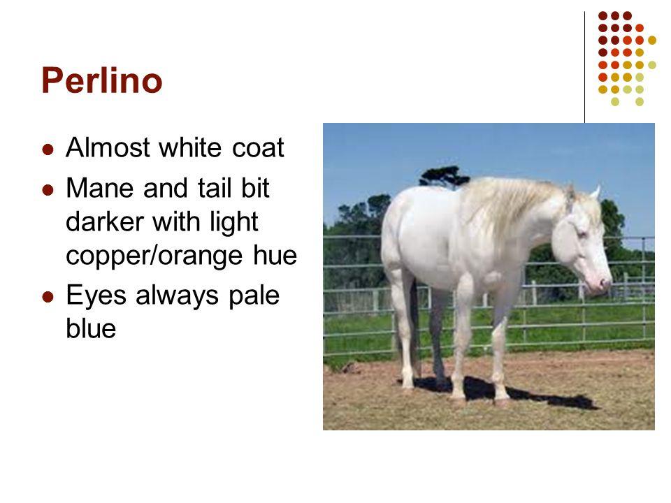 Perlino Almost white coat