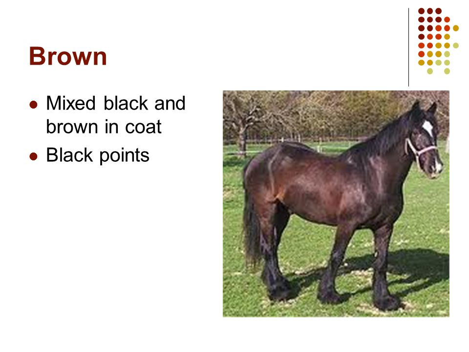 Brown Mixed black and brown in coat Black points