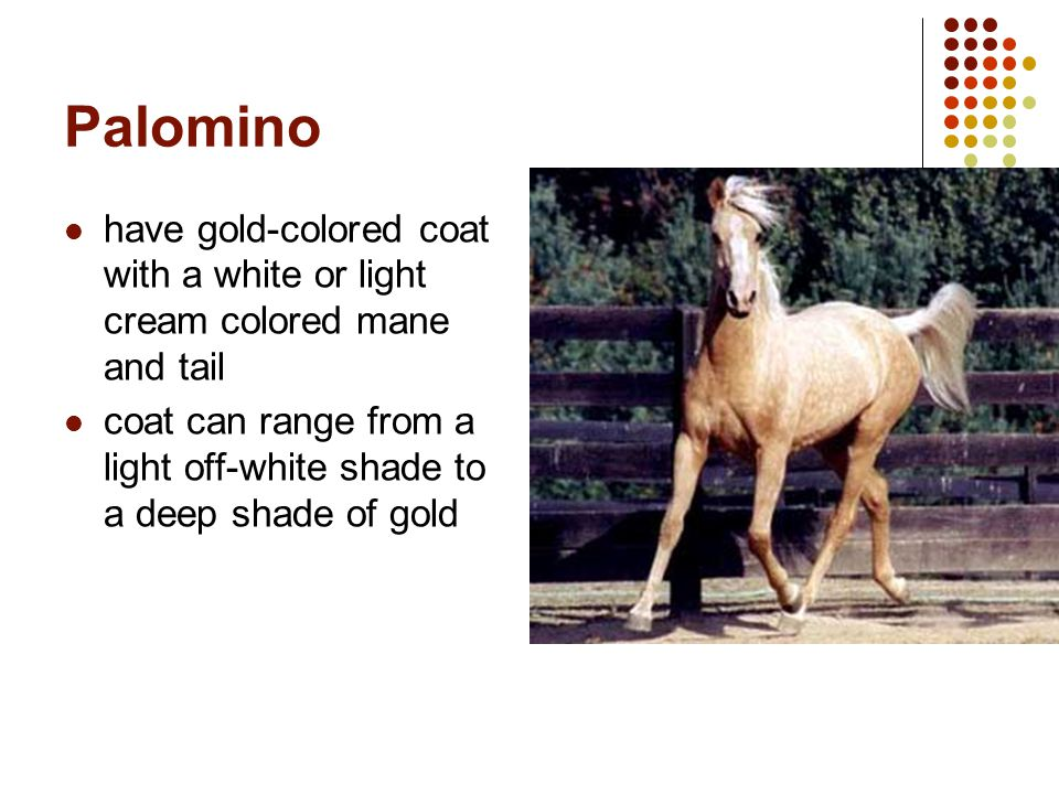 Palomino have gold-colored coat with a white or light cream colored mane and tail.